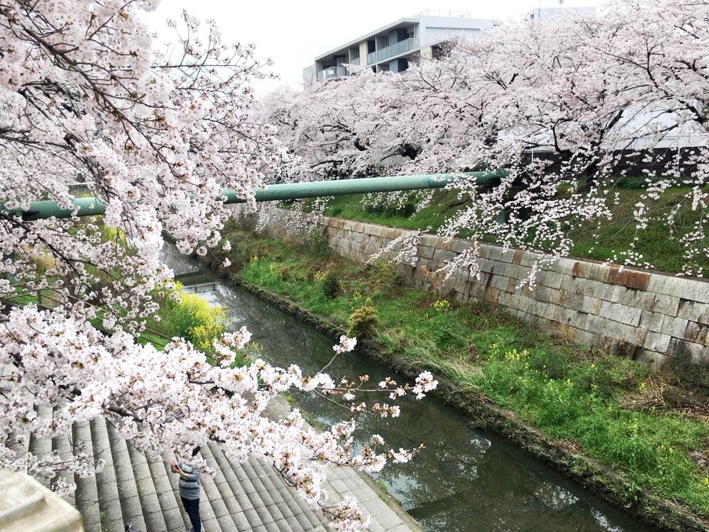 山崎川桜2